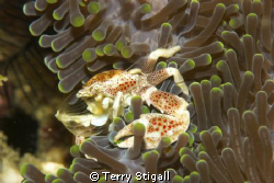Porcelain Crab on anemone - His net is out and he is filt... by Terry Stigall