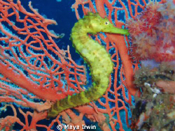 Yellow tigertail seahorse. A simple point a shoot pictur... by Maya Irwin