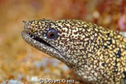 Moray eel. by Stuart Ganz