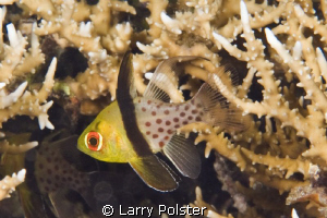 Pajama Cardinalfish  D300-60mm by Larry Polster