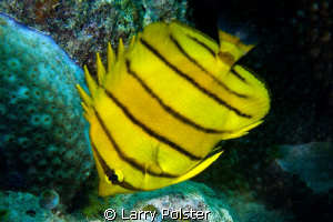Eight Banded Butterflyfish  D300-60mm by Larry Polster