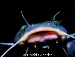 Catfish portrait taken on night dive in the Niagara River... by David Gilchrist