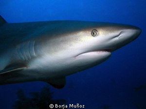 Grey reef shark with a mad look on his face by Borja Muñoz