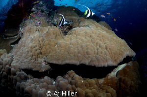 Schooling bannerfish over hard coral; Nikon D2X, 10.5mm, ... by Aj Hiller