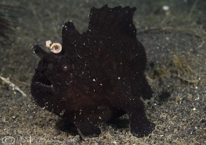 Black frog fish. Lembeh straits. D200, 60mm. by Derek Haslam