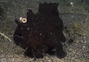 Black frog fish. Lembeh straits. D200, 60mm. by Derek Haslam