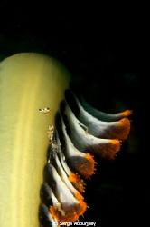 Shrimp on Seapen by Serge Abourjeily