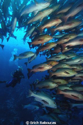 Diver and snappers. Shark Reef, Ras Mohamed Park. by Erich Reboucas