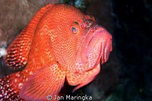 Grouper with cleaner shrimp by Jan Maringka