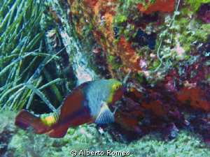 Parrot fish another alien species in the mediterranean sea by Alberto Romeo
