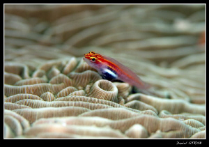 host goby by Daniel Strub