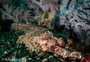 Crocodile fish-Raja Ampat by Richard Goluch
