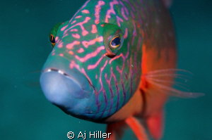 Curious parrotfish seeks conversation with equally curiou... by Aj Hiller