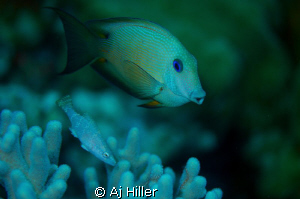 Triggerfish amidst soft coral; Nikon D2X, Aquatica Housin... by Aj Hiller