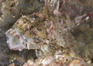 Long spined scorpion fish. North Wales. D3,60mm. by Derek Haslam