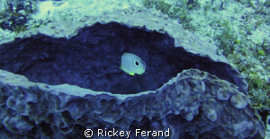 Butterfly fish inside a purple sponge - Palancar reef, Co... by Rickey Ferand