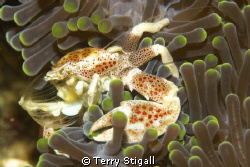Porcelain crabs are not that big.  This little guy was si... by Terry Stigall