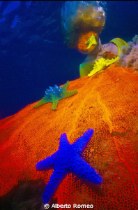 Colored fishstars on the gorgonian and reflection on the ... by Alberto Romeo