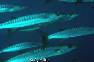 Giant barracuda on the prowl; Nikon D2X, Nikkor 105mm mic... by Aj Hiller
