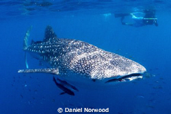 Ningaloo Whale Shark. by Daniel Norwood