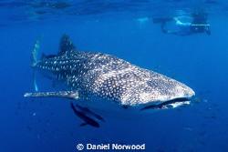 Ningaloo Whale Shark. by Daniel Norwood