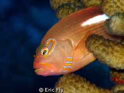 Hawkfish on Saipan by Eric Fly