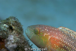 A rainbow of color on this Parrotfish.  It was just hangi... by Terry Stigall