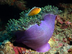 Clown over anemone by Stuart Ganz
