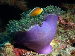 Clown over anemone by Stuart Ganz