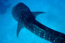 Whale Shark - Maldives. D100 - Tried to see a different a... by Phil Lenz