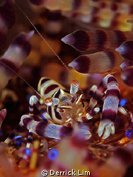 Coleman Shrimp resting on fire urchin. Photo taken from A... by Derrick Lim