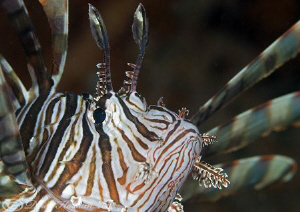 Lion fish. Lembeh straits. D200, 105mm. by Derek Haslam