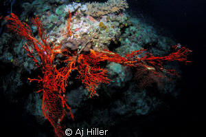 Fiery red fern coral pops like a giant hand from the seab... by Aj Hiller