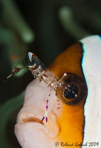 Anemonefish & Cmmensal shrimp-Lembeh by Richard Goluch
