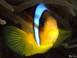 Clown fish.  Taken with Olympus E-20 in Titan housing w... by Istvan Juhasz