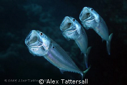 Singing Mackerel by Alex Tattersall