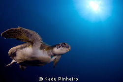 Green Turtle pose at Laje de Santos, Brazil by Kadu Pinheiro