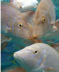 """Snapper Portrait"", Ningaloo Reef by Penny Murphy"