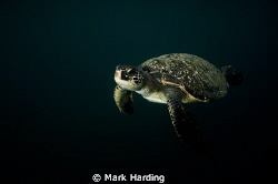 Green Turtle in Low Light. by Mark Harding