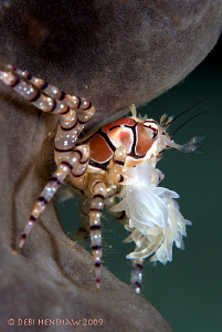 """""""Back against the Wall"""" Boxer Crab, D90 with 105mm +2 dio... by Debi Henshaw"""