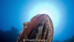 Nassau Grouper posing for a portrait. by Frank Delargy