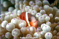 Clown fish in anemone, Fiji, taken with double strobes by Cindy Campbell