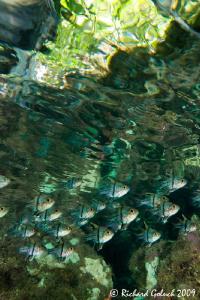 Orbicular Cardinalfish close under water surface-Raja Ampat. by Richard Goluch