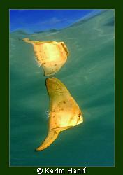 This juvenile batfish image was taken in back in 2007 in ... by Kerim Hanif