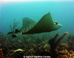 This humongous Eagle Ray passed by me while I was conduct... by Baruch Figueroa-Zavala