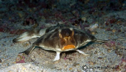 Red Lipped Batfish, Galapagos Islands by Lowrey Holthaus