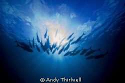 Trevally angling towards the morning sun at Osprey Reef, ... by Andy Thirlwell