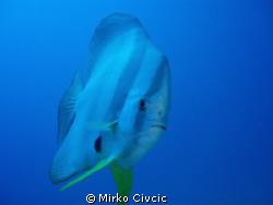A curious Teira Batfish (Platax Teira) swimming close to ... by Mirko Civcic