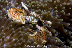 porcelain crab taken in phillipines just of verde island ... by Damian Charnley