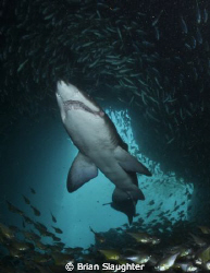 Grey Nurse Shark w/ Photographer @ Fish Rock Cave. Southw... by Brian Slaughter